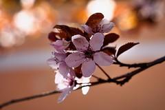 Springtime (Nikonphotography D750) Tags: macromondays markterlbach franken franconia outdoor inexplore frankenhöhe sony sonyphotography sonyalpha sonyalpha6000 sonyilce6000 e1670mmf4zaoss flickrnature explore spring springtime blossoms blüten makro macro makrofotografie macrophotography