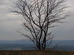 Blick von Kanzel mit Baum (germancute) Tags: nature outdoor kanzel plant wildflower flower blume landscape landschaft thuringia thüringen germany germancute wald wiese