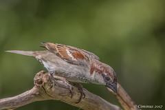 Passer domesticus. (Ciminus) Tags: naturesubjects aves ornitology nature ciminus birds sparrow ciminodelbufalo pentaxk3 garden wildlife pentaxda300mmf4edifsdm oiseaux passero pentax passerdomesticus uccelli ornitologia