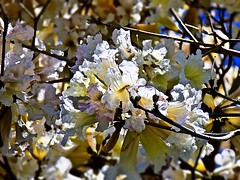 Spring Time (BlueisCoool) Tags: flickr foto photo image capture picture photography nikon coolpic l330 spring white beige nature outdoor outdoors tree plant flower flowers flowering bloom blossom blossoms pretty florida springtime largoflorida