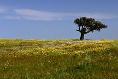 Monte das Vinhas_9bc (x-lucena) Tags: viúvas alentejo azinheira quercusilex montedasvinhas