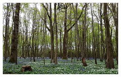 Bluebell season (éric) Tags: cycling bluebell cuckoo trail ncn ncr21 imagedatasmg935f1148f17100 uploadscript imagemagick im:opts=crop4032x250000level5100075 photo:id=33670451070522a949bbdojpg