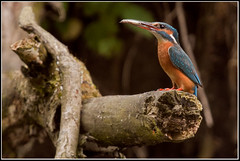 Common Kingfisher (seph.photography) Tags: fish mouth kingfisher common alcedo atthis