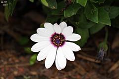 Colorful Stamen (zeesstof) Tags: flowers plants garden spring blossoms blooms westfield mercerarboretum canon7d zeesstof canonefs55250mmf456isii