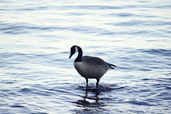 (AllForParadox) Tags: park blue lake canada nature water spring zoom goose canadiangoose lakeontario minimalistic zoomlens canoneosdigitalrebelt2i adobephotoshopcs5 canonzoomlensef70210mmf40 canonbge8batterygrip