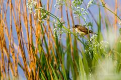 Marsh Warbler (Guy L Janssens) Tags: nature belgium vogels belgië natuur langdorp aarschot sylviidae zangers marshwarbler acrocephaluspalustris bosrietzanger demervallei acrocephaluspalustrismarshwarbler