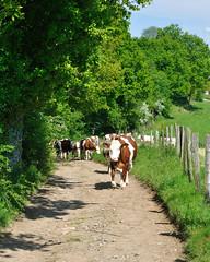 Longessaigne (Rhône) (Cletus Awreetus) Tags: france rhône agriculture vache montsdulyonnais troupeau bovin élevage longessaigne