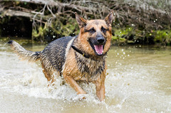 Branko Swims 2013-06-07-12 (falon_167) Tags: dog shepherd german gsd germanshepherddog branko