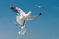 Air acrobatics (a3aanw) Tags: bird nature netherlands nikon gull great nederland vogels natuur texel marinus vogel blackbacked d800 larus mantelmeeuw nikonafsnikkor70200mmf28gedvrii