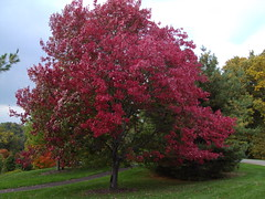 Red Oak at Cornell University Ithaca (denisbin) Tags: red fallleaves oak university arboretum autumnleaves cornell ithaca redtree ithica cornelluniversity quercuscoccinea