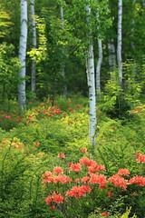 white birch forest (cate) Tags: light nature forest azalea naganoprefecture whitebirch