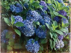 Hydrangea (kasa51) Tags: olympus omd em5 panasonic leica summilux 25mm f14 dxofilmpack4 flower blossom earlysummer hydrangea