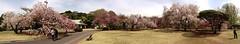 Sakura - cherry blossom heaven