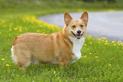 Full-body Corgi (hhildrethphoto) Tags: park flowers autumn columbus ohio summer usa dog pet pets nature grass smiling animals yellow tongue america puppy outdoors pembroke happy photography spring corgi woods puppies midwest colorful unitedstates seasonal scenic meadow parks july content happiness fields northamerica stoli wildflowers panting welsh westerville enjoyment active stolichnaya sharonwoods metropark pictureqsue hollyhildreth metropoliatin
