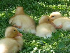 P1030750 (infiniti25@ymail.com) Tags: duckling ducks aylesbury brood babyducks babyduck whiteduck duckinwater tinyducks featherbabies