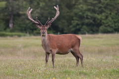 IMG_7570.jpg (Chris Bryant) Tags: uk animals scotland wildlife places mull reddeer