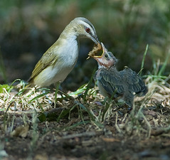 Red-eyed Vireo (Vireo olivaceus) with hybrid offspring (Red-eyed x Warbling Vireo cross) (fugle) Tags: redeyedvireo warblingvireo hybrid nevada bird vireo