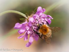 20130809_4917_Bij (Rob_Boon) Tags: macro insect bee tuin bij wijlre robboon