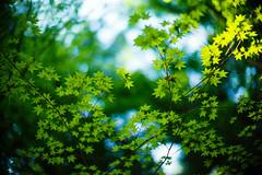 Green Whispers (moaan) Tags: life leica green leaves 50mm dof bokeh f10 momiji japanesemaple kobe utata noctilux mtrokko m9 refresh 2013 rustling inlife leicanoctilux50mmf10 leicam9 futatabipark