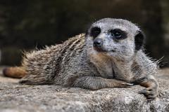 Meerkat (alotroy) Tags: meerkat
