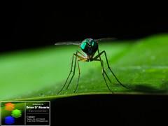 Look Into My Eyes (Brian D' Rozario) Tags: macro green nature animal closeup insect fly nikon wildlife creative insects flies dhaka bangladesh cls greatnature creativelightingsystem d7k d7000 sb700 briandrozario brian19869