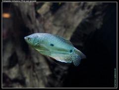 fish gourami threespotgourami trichopodustrichopterus gouramibleu