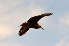 Gaviota 7 (raulmunozh2001) Tags: gaviota pelicano