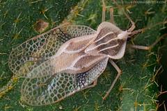Tingidae (Techuser) Tags: macro nature forest bug rainforest close olympus atlantic reverse mata piedade atlantica epl hemiptera soligor2835