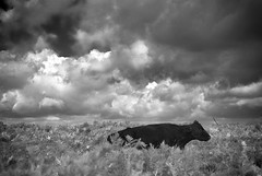 Resting Clouds (Cris Rose) Tags: blackandwhite clouds zeiss 50mm cow skies sitting moody bokeh sharp m8 brooding bracken f2 common newforest planar animalleica