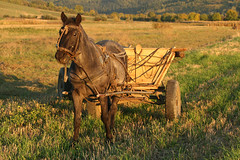 Working horse (Paul.White) Tags: travel light horse field canon photography dusk working romania cart agriculture top20 transylvania equine horsecart tack 30d canon30d outstandingforeignphotographersvisitingromania trackranger wildtransylvania t20int