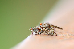 Stomoxys calcitrans - Stable Fly (Raven Photography by Jenna Goodwin) Tags: macro up insect fly close sony sigma flies mating mm stable dg 70300 a65 stomoxyscalcitrans