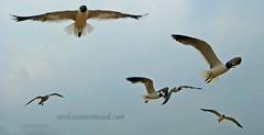 Coney Island Seagulls (MelissaMermaid) Tags: seagulls beach nature water birds brooklyn coneyisland flying wings gulls flock