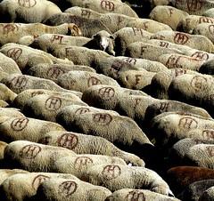 je me sens si seule ... (b.four) Tags: sheep mouton ewe alpesdehauteprovence brebis ruby3 pecora coth lauzanier diamondclassphotographer flickrdiamond hauteubaye rubyphotographer damniwish mygearandme mygearandmepremium mygearandmebronze mygearandmesilver mygearandmegold mygearandmeplatinum ruby10 ruby15 ruby20
