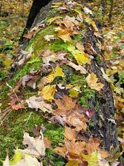 Leaf covered tree (Bill Pawlitzki) Tags: photo nikon flickr most ever viewed 8800