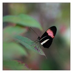 Common Postman (leo.roos) Tags: zeiss blijdorp butterflies za vlinders vlindertuin amazonica rotterdamzoo a99 commonpostman darosa southamericanbutterflies heliconiusmelpomeneamaryllis leoroos sonyczplanart5014
