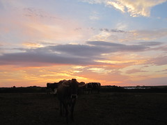 "Brown Swiss Cow ""Poland"" with a Kansas Sunset (J. Nisly) Tags: sunset kansas 2010 dairyfarm dairycows brownswiss dairycattle"