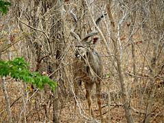 Male Kudu (Linda DV) Tags: africa travel nature canon river geotagged botswana bovidae chobe zambezi cuando southernafrica greaterkudu 2013 tragelaphusstrepsiceros kwando geomapped tragelaphus lindadevolder powershotsx40