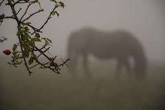 hippo_rosas (roberto emiliani) Tags: horse fog rosa nebbia cavallo canina