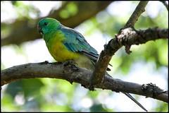 DSC_6248 - Red-rumped Parrot (Psephotus haematonotus) (Derek Midgley) Tags: iris flickr parrot australia glen psephotus haematonotus redrumped