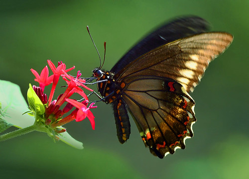 Polydamas Swallowtail Butterfly in flight feeding on Egyptian Star Clusters.