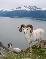 Full Curl Dall Ram & Smaller Ram Along The Turnagain Arm (AlaskaFreezeFrame) Tags: dall dallsheep dallrams rams horns alaska alaskafreezeframe canon outdoors nature wildlife mammals mountains fall climbing spring water 70200mm