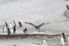 Antarctica - Day six0855 (GLRPhotography) Tags: snow ice penguin antarctica chinstrap deceptionisland 100400 baileyhead