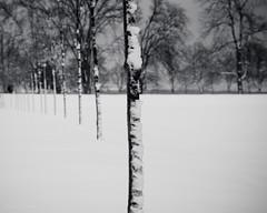 solstice (bluechameleon) Tags: park trees winter bw snow blur nature vancouver blackwhite depthoffield solstice wintersolstice stanleypark bluechameleon artlibre sharonwish artlibres bluechameleonphotography