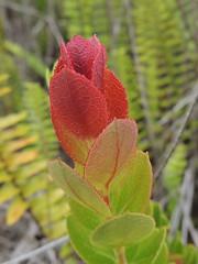 'Ohelo (Anita363) Tags: red hawaii flora native ericaceae hi bigisland shrub hawaiivolcanoesnationalpark endemic vaccinium chainofcratersroad liko ohelo maunaulu vacciniumreticulatum