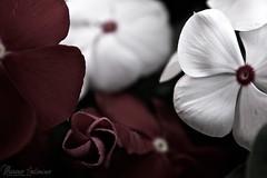 Amore e fiori non durano che una primavera