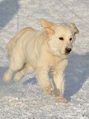 DSC_1719_3 (kuhnmi) Tags: schnee winter dog white snow motion dogs animal animals happy schweiz switzerland labrador running hund davos
