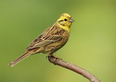 yellowhammer (colin 1957) Tags: nature birds suffolk wildlife birdwatcher yellowhammer canon7d