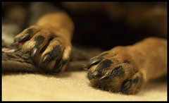 Photo challenge - low angle. Claws and paws (Maw*Maw) Tags: rotweiller rottie paws feet claws canon eos 50d photoshop cs5 50mm prime low angle photo challenge