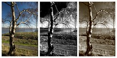Triptych (18mm & Other Stuff) Tags: camera color tree sepia wales photoshop canon lens mono raw different with image picasa filter same kit tones flint combined flintshire in polarizing 600d 1955mm