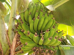growing bananas in a square foot hydroponic system (square foot hydroponics) Tags: flowers plants orchid flower macro tree green garden square foot gardening silk systems vegetable system bananas hydro growing sustainability floss hydroponics hydroponic hydroculture urbanagriculture hydropond wwwsqfoothydrocom squarefoothydroponics janhydro